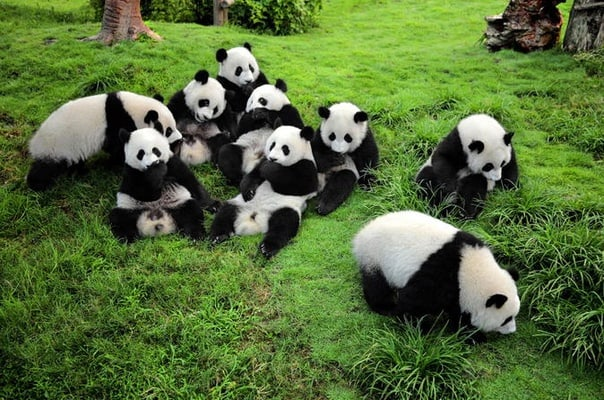 One-Way Airport Transfer with Giant Panda Bear Research Center in Chengdu