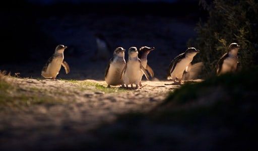 Penguin Parade: Full-Day Wildlife Tour from Melbourne