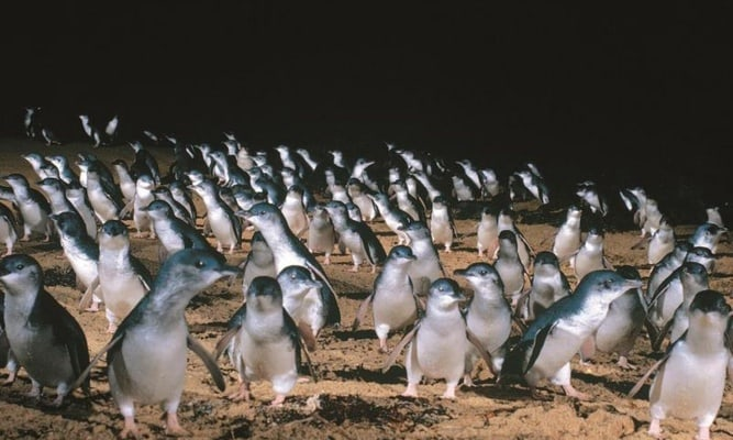 Penguin Parade with Penguins Plus