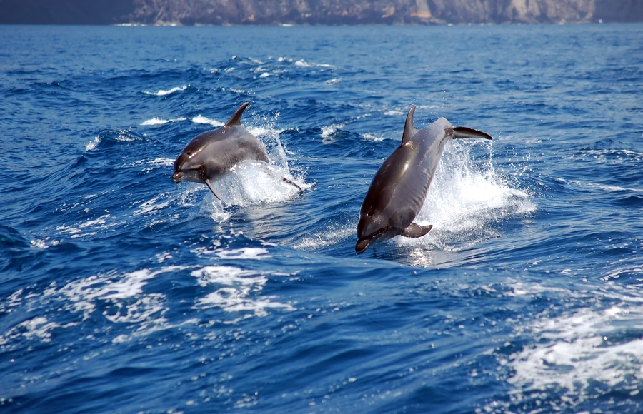 Dolphins in Egypt